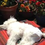 オムツのトイプードル、我が家の長寿犬。